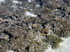 So-called Dead Coral Zone of the inner reef flat. Here, dead corals are colonized by (mainly) noncalcareous algae.